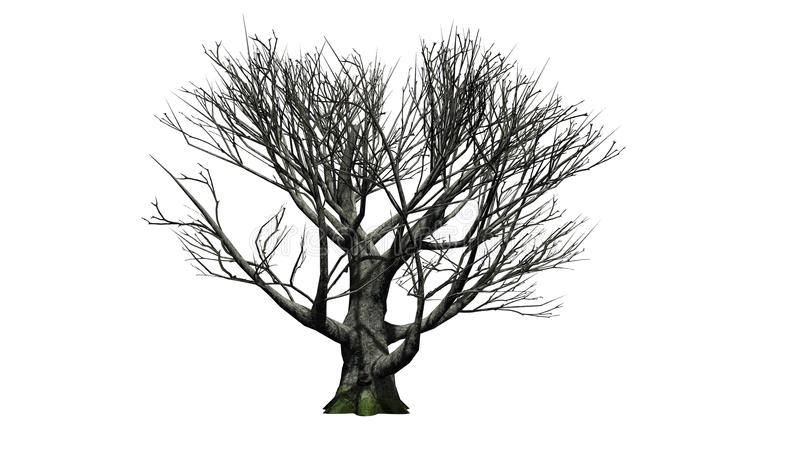 White oak tree in the winter. Isolated on white background stock image