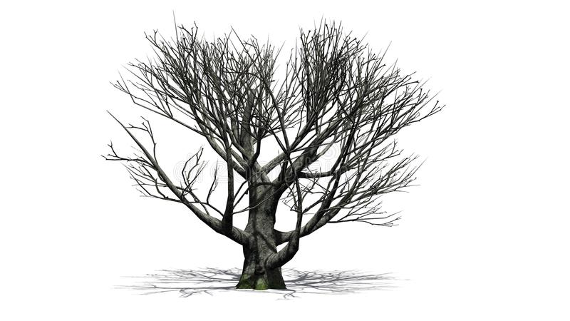 White oak tree in the winter. With shadow on thr floor - isolated on white background stock photos