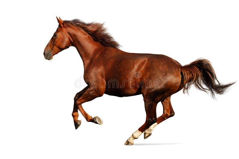 white odizolowywającego galopem konia zdjęcia stock