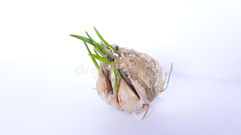White onion with germ. Picture of white onion with germ stock image