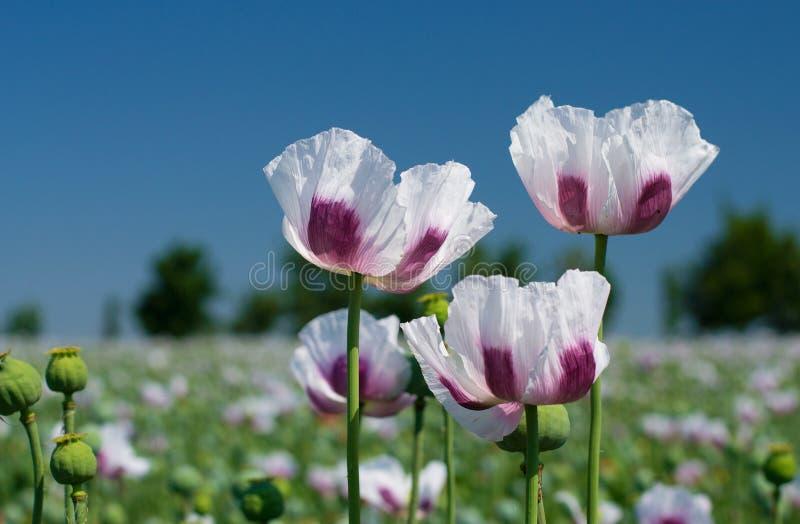 White opium poppy field stock image