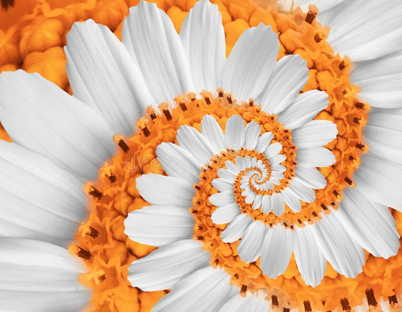 Download White Orange Camomile Daisy Cosmos Kosmeya Flower Spiral Abstract Fractal Effect Pattern Background White Flower Spiral Abstract. Stock Photo - Image of concept, camomile: 105128564