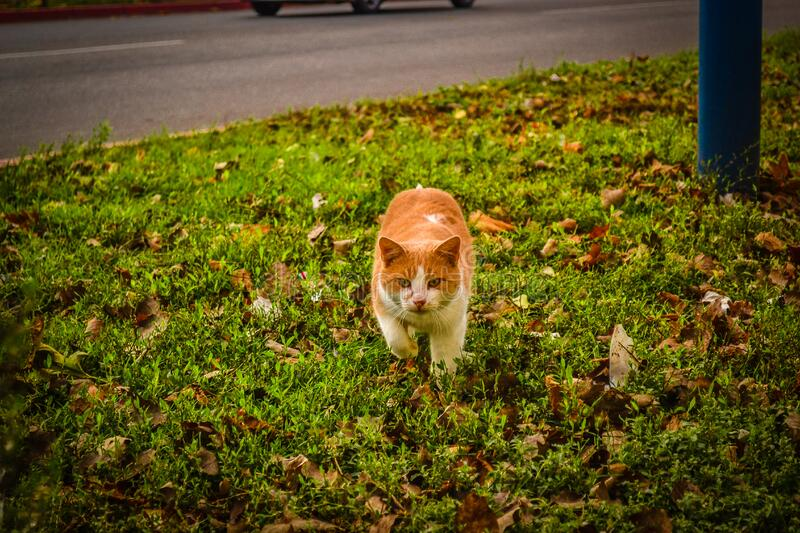 White and Orange Cat Walking on Green Grass during Dayime royalty free stock photography