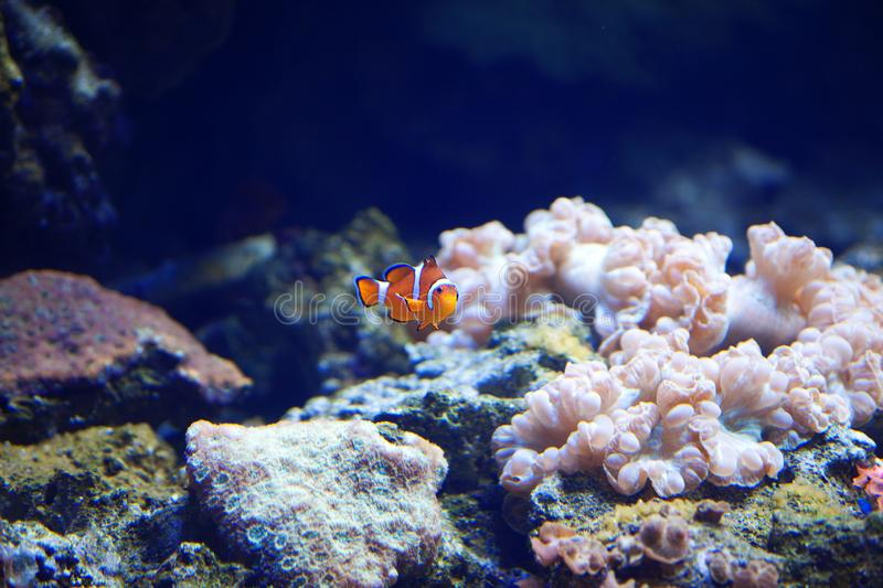 White-orange clown fish swims among the corals. royalty free stock images