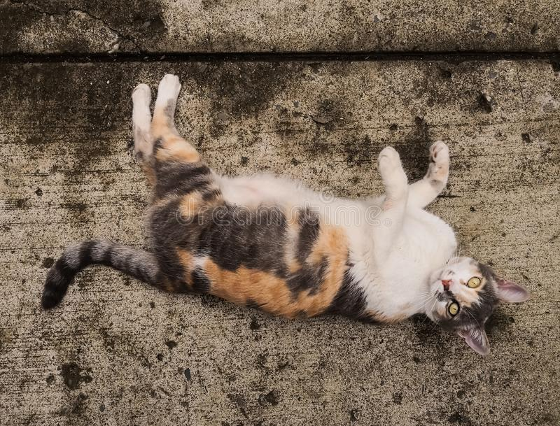 White, orange and gray cat pet over concrete floor. Beautiful white, gray and orange cat enjoying a day in the suburbs, on a concrete floor. Pet animal, playful stock image