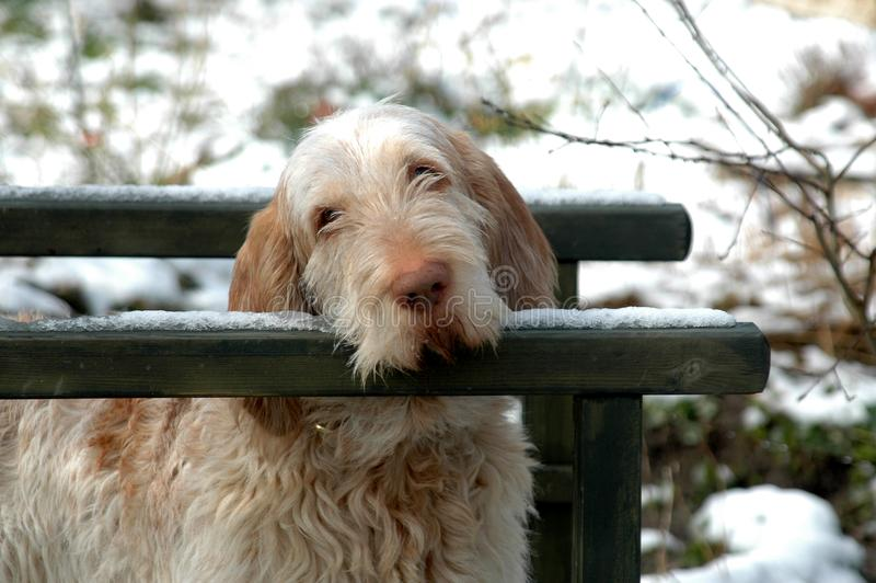 Tired Spinone. White-orange Spinone dog rests its head on a handrail in a winterly park royalty free stock photos