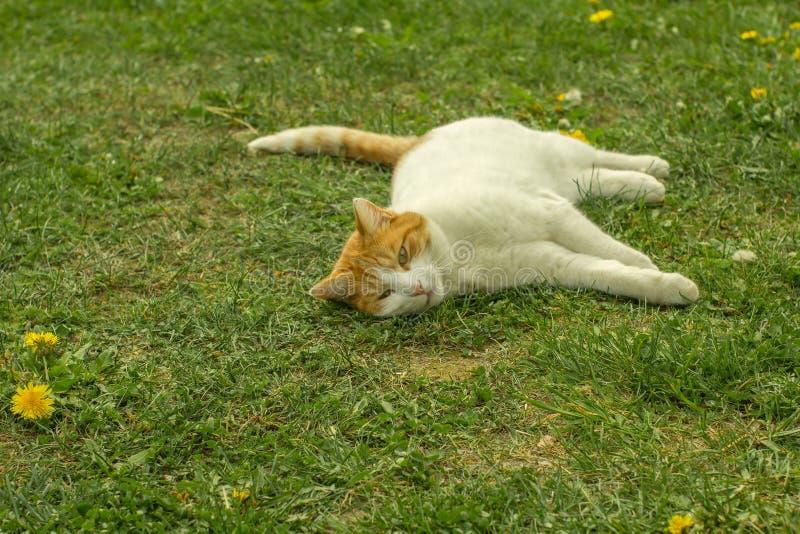 White and Orange Tabby Cat Lying on Grass stock photo
