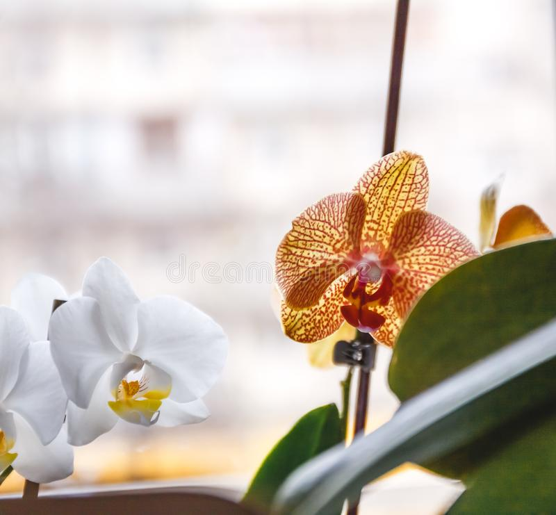 White and orange tiger orchid flower on bright background in creative blur.  royalty free stock image