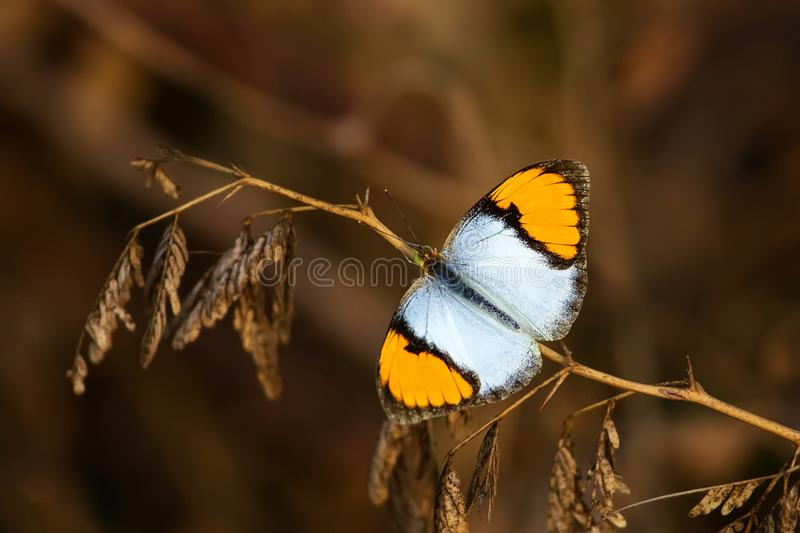 White orange tip butterfly. Ixias marianne in Keoladeo Ghana National Park, Bharatpur, India royalty free stock photography