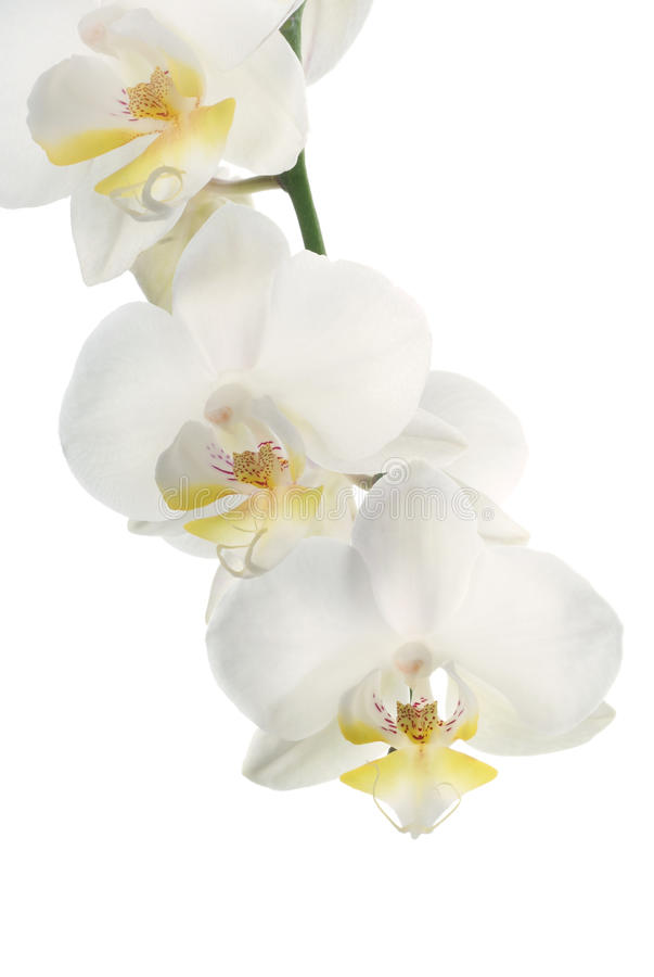 Download White orchid stock photo. Image of floral, fragility - 10150932