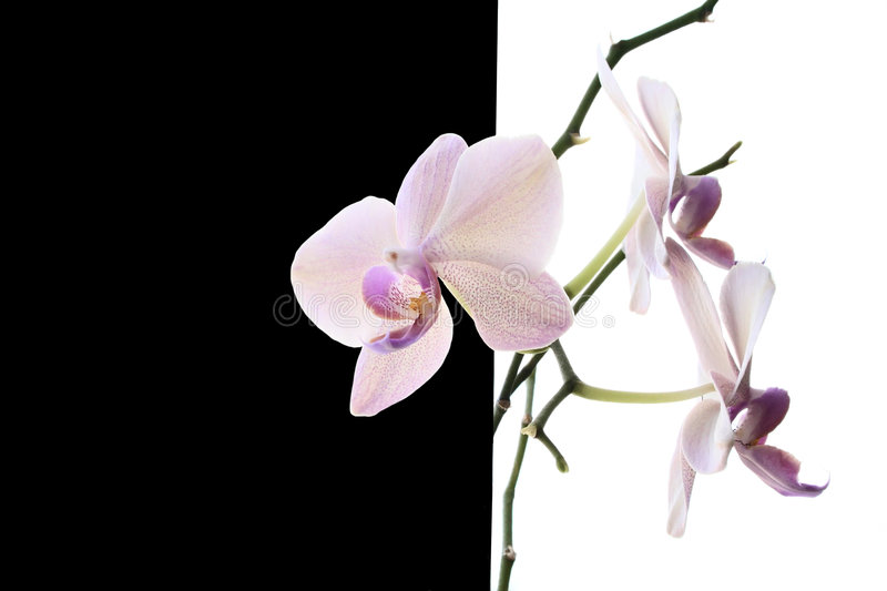 White orchid. On black and white background royalty free stock image