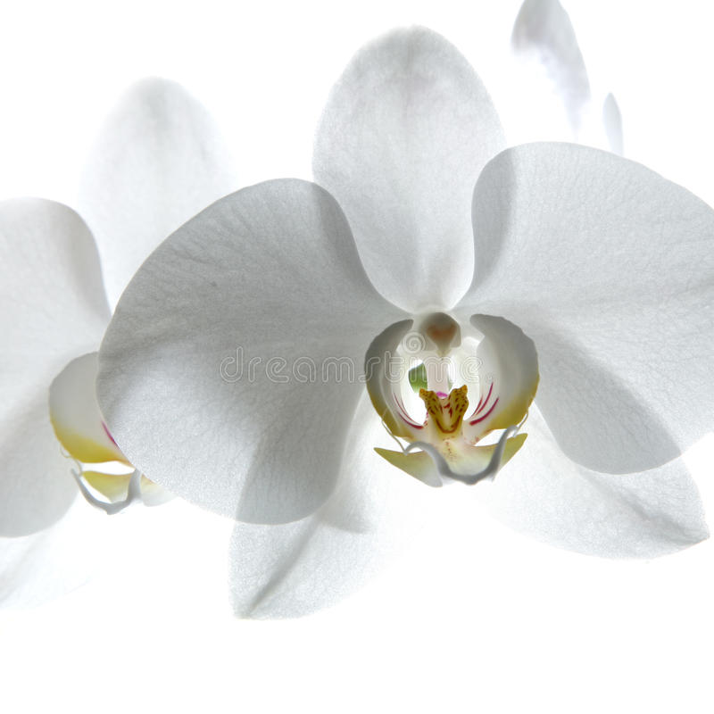 White orchid. Isolated on white royalty free stock image