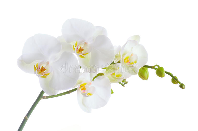 Download White Orchid stock photo. Image of fragility, branch - 13589492