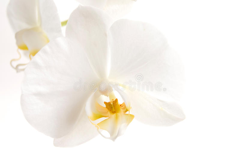 Download White Orchid Royalty Free Stock Photos - Image: 15595618