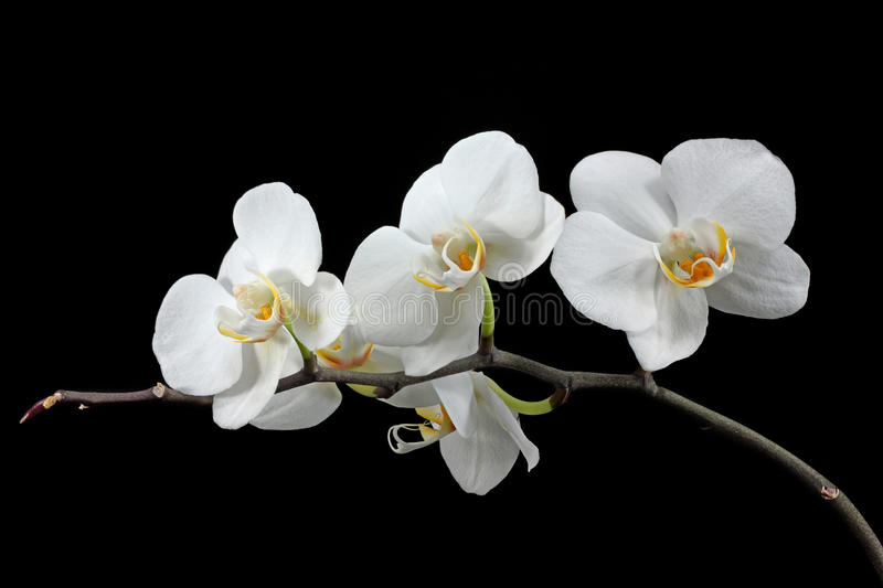 White orchid. Isolated on black background royalty free stock photography