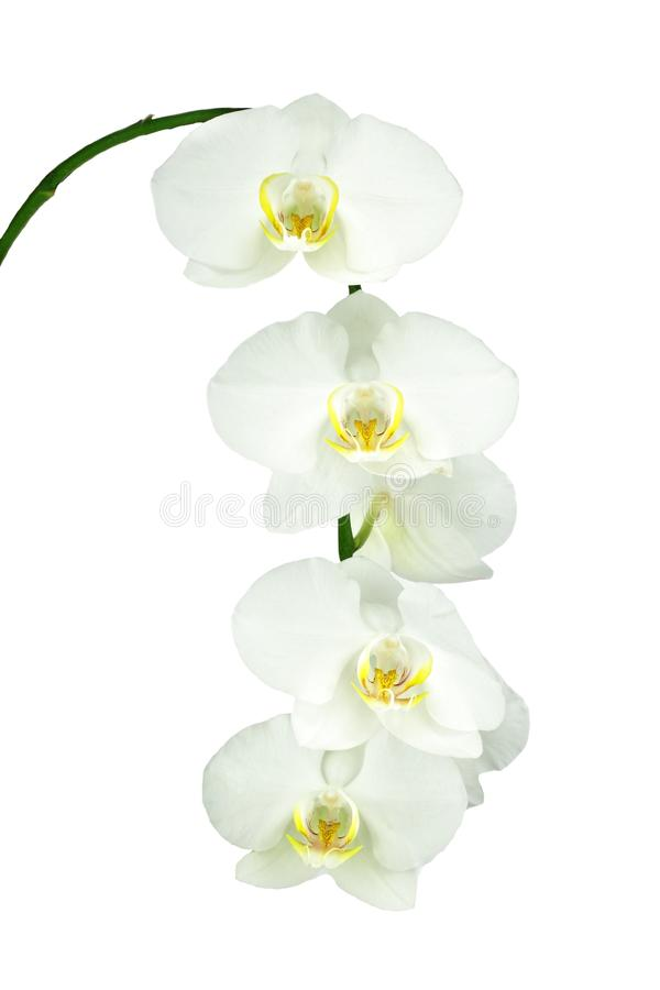 Download White Orchid stock photo. Image of color, elegant, petal - 28061918