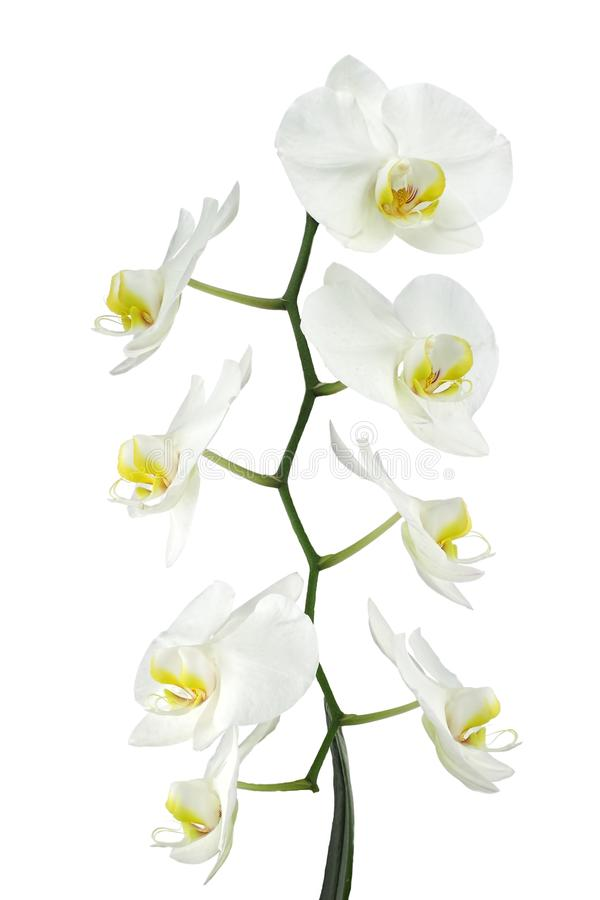 Download White Orchid Royalty Free Stock Photos - Image: 28176738