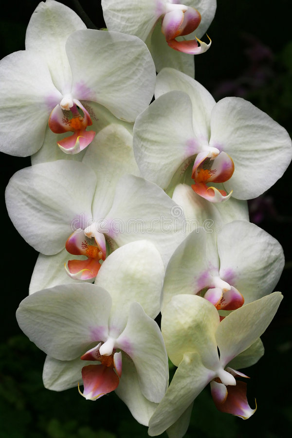 Download White orchid stock photo. Image of petal, exotic, white - 57780