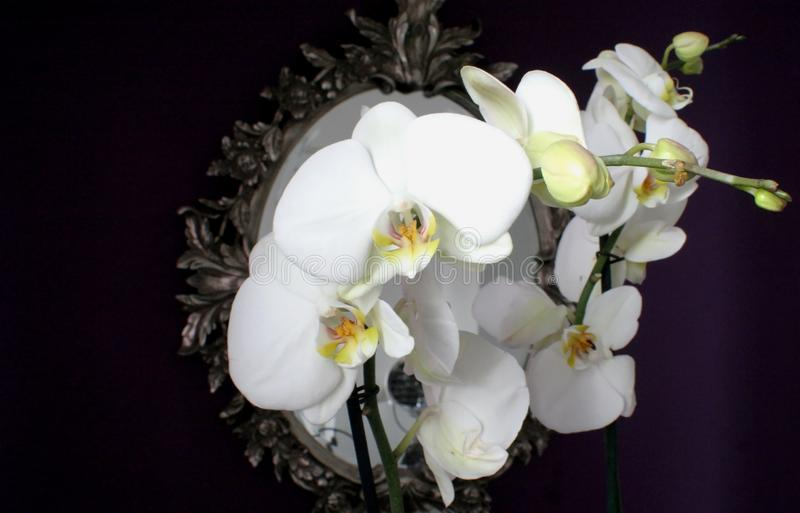 White orchid on the background of an ancient mirror. royalty free stock photo