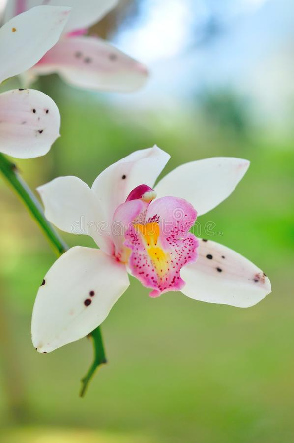 White orchid. Beautiful white orchid flower in thailand royalty free stock photo