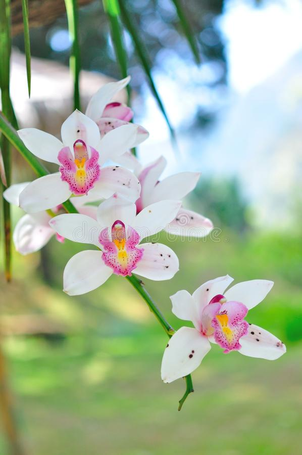 White orchid. Beautiful white orchid flower in thailand stock photo
