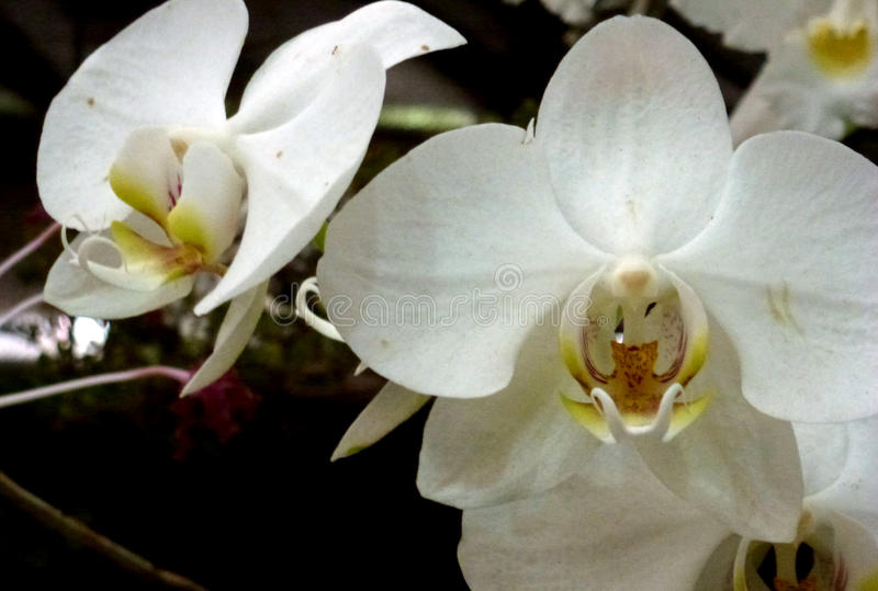 White Orchid stock photos