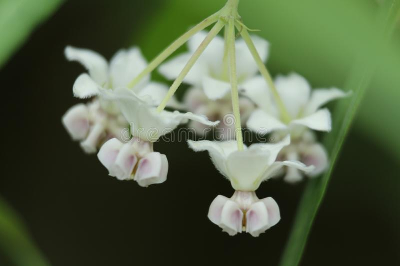 White orchid big close-up in Hong Kong rural area stock image