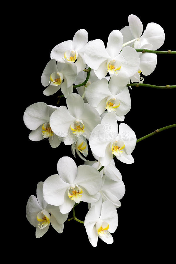 White Orchid On A Black Background Stock Photography ...