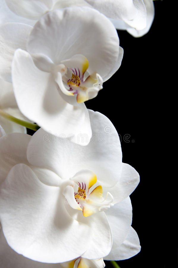 Download White orchid stock image. Image of floral, lila, black - 32884545