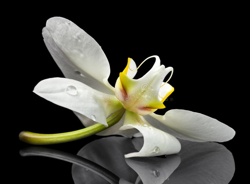 Download White orchid blossom stock photo. Image of water, drop - 28760374
