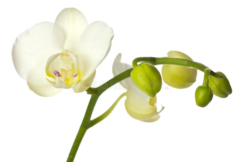 White orchid with buds. stock photography