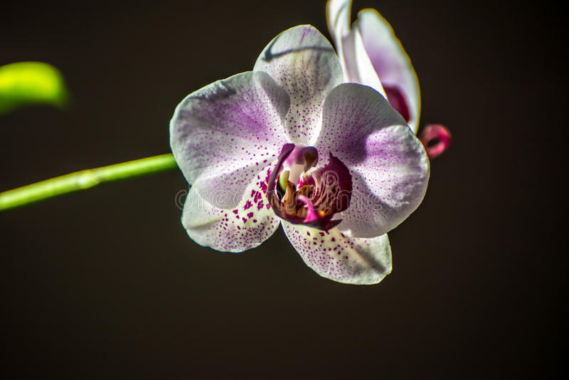 White orchid. Closeup of white orchid with pink and purple specks/dots stock photos