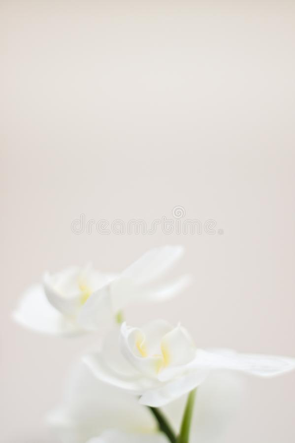 Milky orchid. White orchid detail with bokeh stock photos