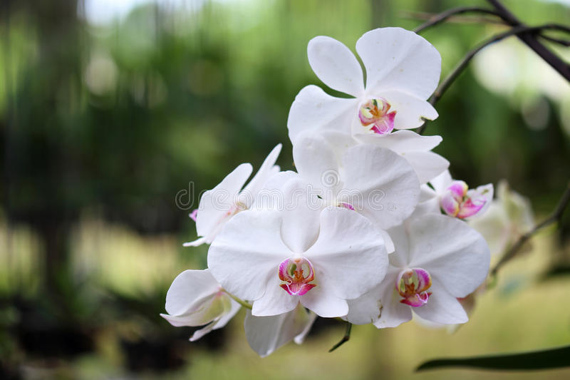 Download White orchid flower stock photo. Image of bouquet, horizontal - 32233838
