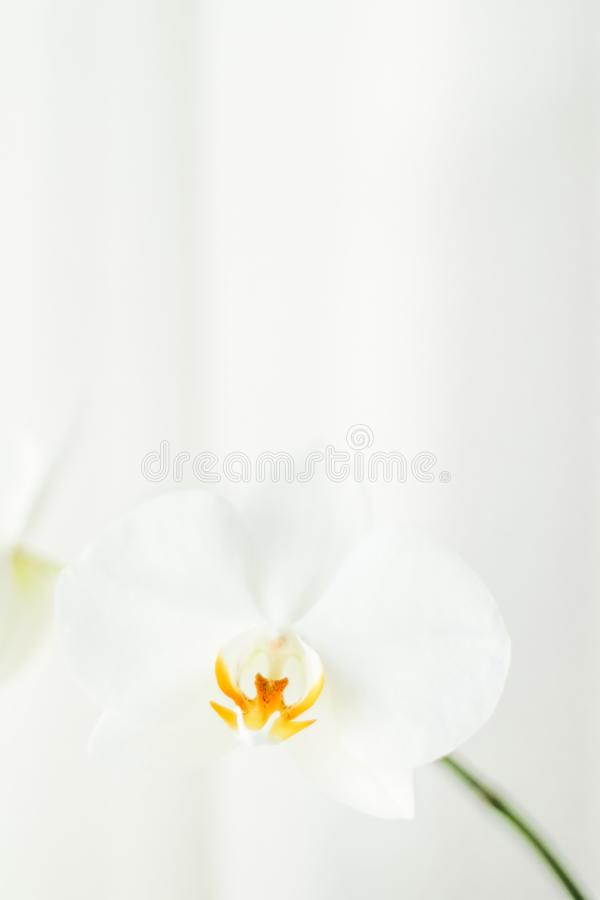 White orchid flower in bloom, abstract floral blossom art background and flowers in nature for wedding invitation and luxury. Blooming, branding and botanical stock photography