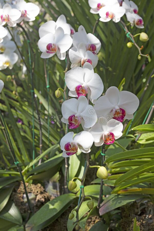White orchid flower blooming in springtime.  stock images