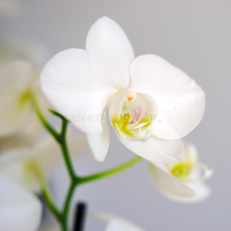 White orchid flower in close up royalty free stock photo