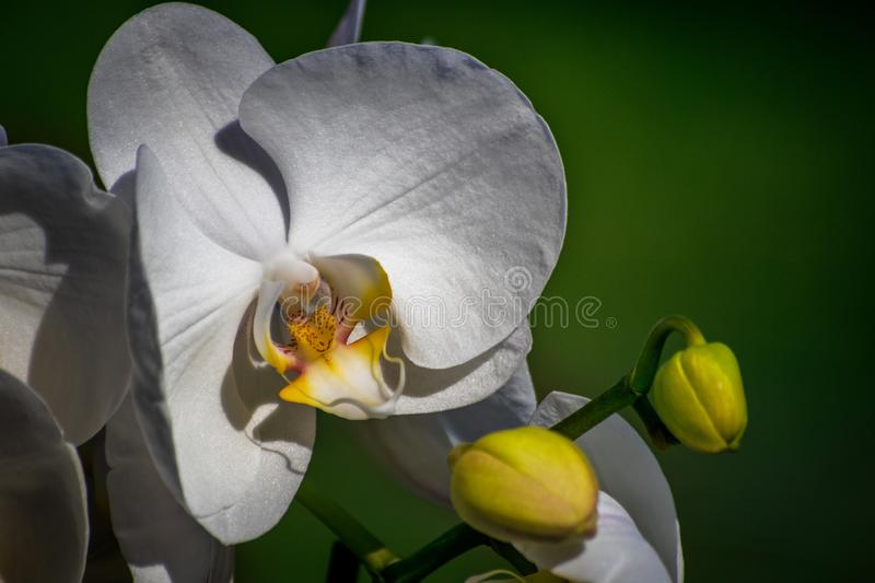 White orchid flower with green grass background. Close-up royalty free stock image