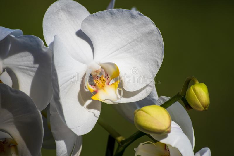 White orchid flower with green grass background. Close-up stock photography