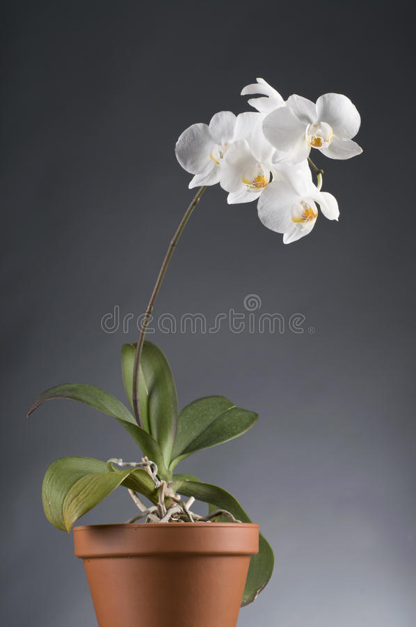 Free White Orchid Flower In A Pot Stock Image - 28658161