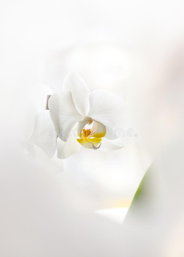 White orchid flower on a light background in creative blur.  royalty free stock images