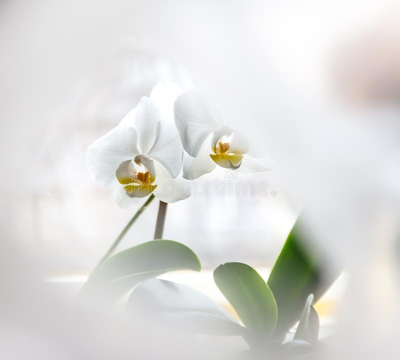White orchid flower on a light background in creative blur.  stock images