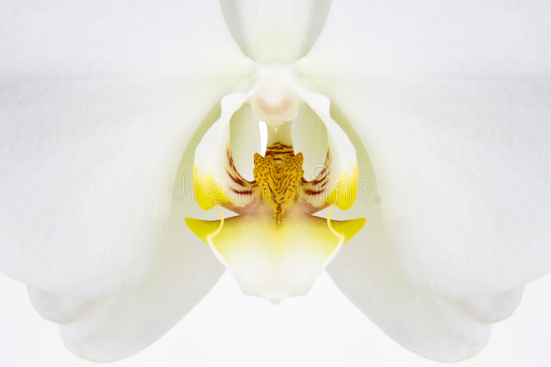 Download White Orchid Flower Macro Detail Stock Photo - Image: 9706964