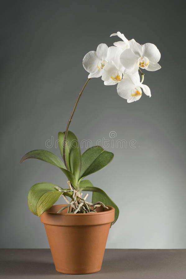 White Orchid Flower In A Pot Stock Photo
