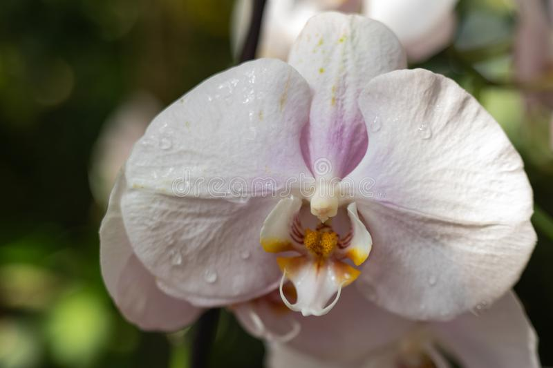 White orchid flower stock image