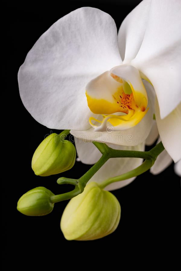 White orchid flowers. A beautifully blossomed flower bred in home conditions stock images