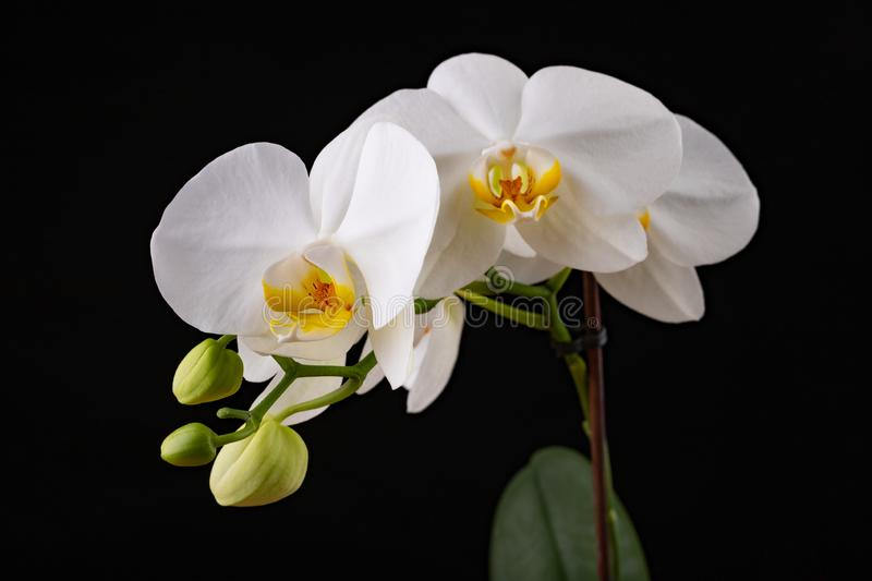 White orchid flowers. A beautifully blossomed flower bred in home conditions royalty free stock image