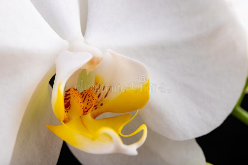 White orchid flowers. A beautifully blossomed flower bred in home conditions royalty free stock images