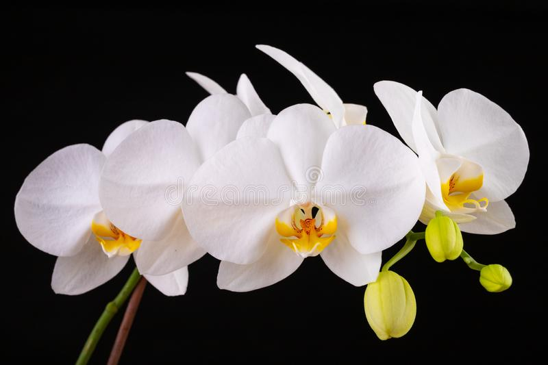 White orchid flowers. A beautifully blossomed flower bred in home conditions royalty free stock photography