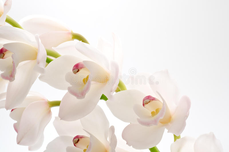 White orchid on gray stock photography